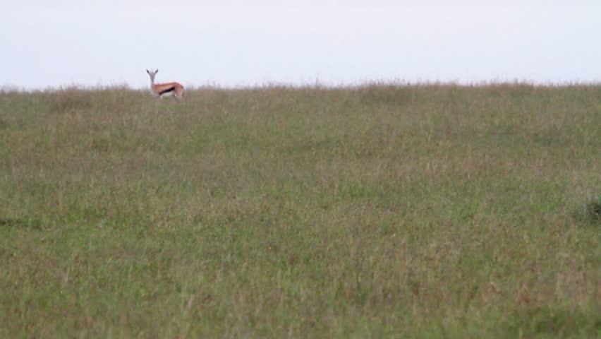 Little bustard walking in the field