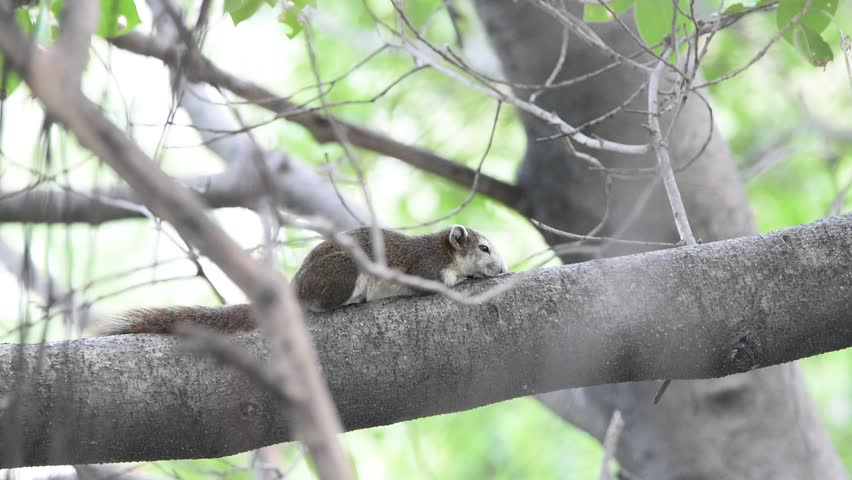 Squirrels are members of the family Sciuridae on tree in nature | Shutterstock HD Video #26388293