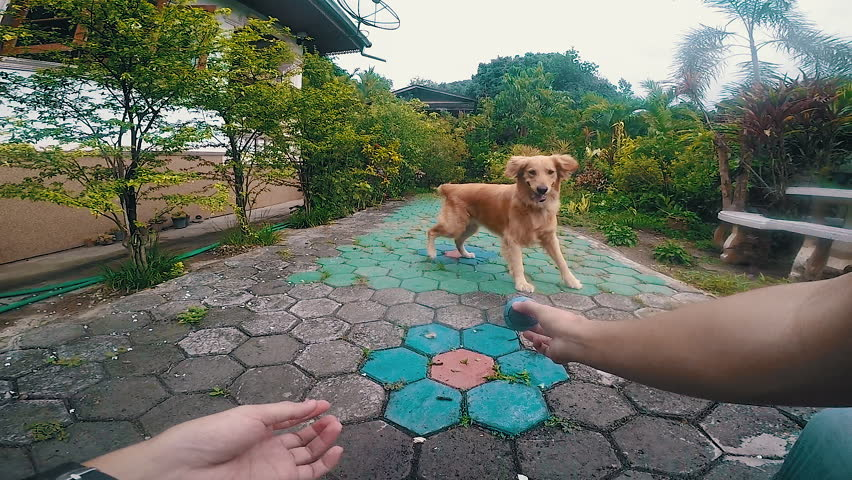 POV man playing with dog, dog jumps fail play ball