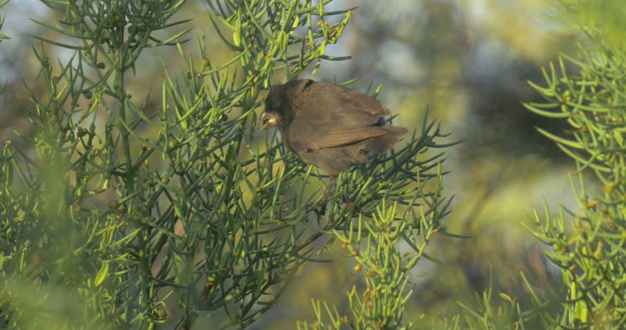 Darwin finch bird Close shot of Darwin finch bird   Shutterstock HD Video #26420843