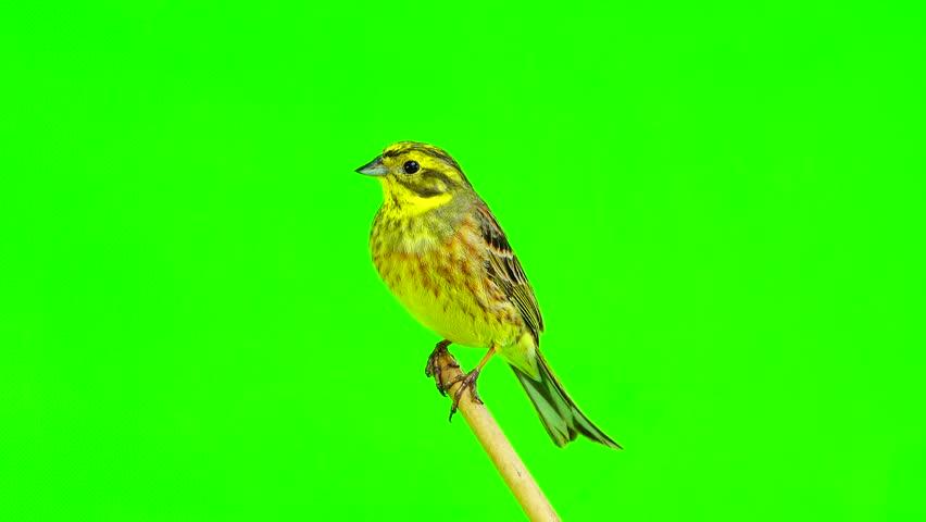 Yellowhammer (Emberiza citrinella) isolated green screen #26450933