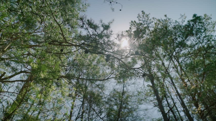 Looking up at sun shining through evergreen trees needles | Shutterstock HD Video #26476133