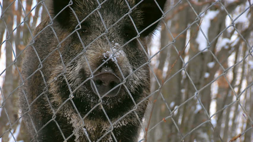 Wild pigs in a fenced area in the forest at winter time. Wild boar trapped