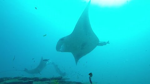 Three Manta Rays crossing on a cleaning station.