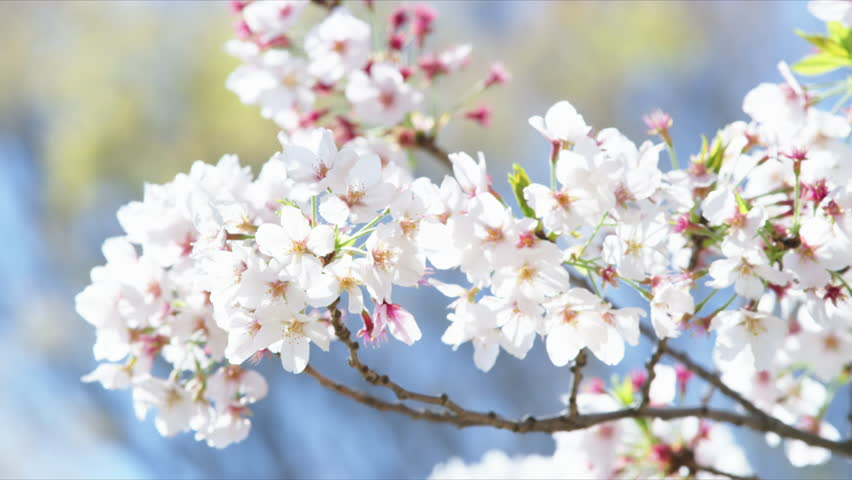 Cherry blossoms in Japan | Shutterstock HD Video #26485223