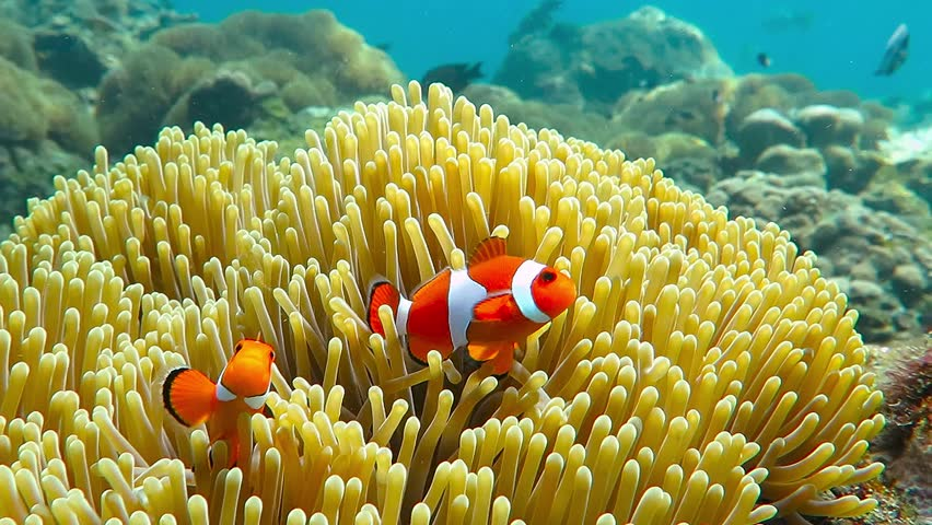 Nemo clown fish in the anemone on the colorful healthy coral reef. Anemonefish nemo couple swimming underwater. Scuba diving coral reef scene with nemo and anemone. | Shutterstock HD Video #26523743