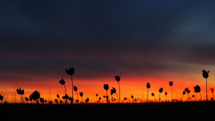 Wild tulips in a meadow on background sky. Crimson dawn. Sunrise. The steppe comes to life in the spring.