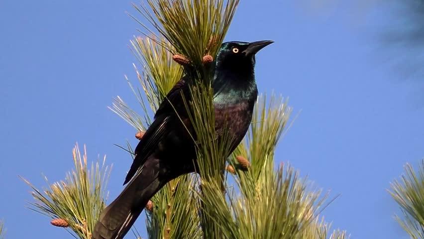 Common Grackle blackbird raven chirping, sound