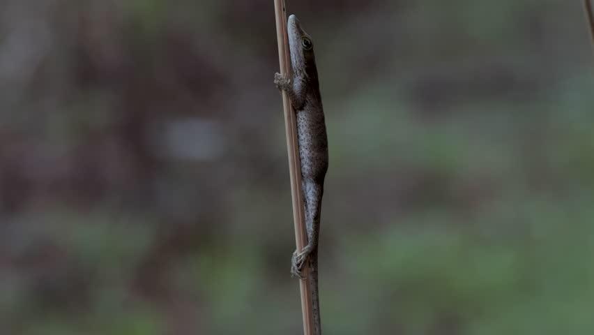 A female Carolina Anole (Anolis Carolensis) clings to a slender reed.