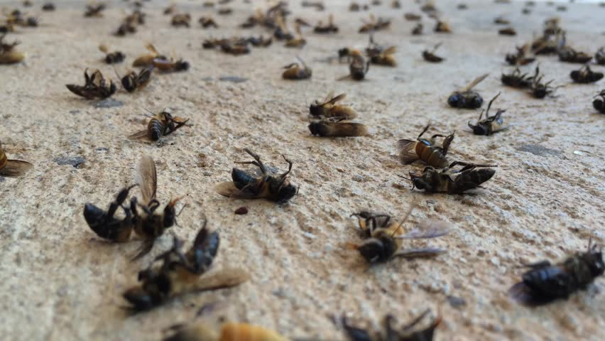 Dead bee on ground. Bees are flying insects closely related to wasps and ants, known for their role in pollination and, in the case of the best-known bee species. footage