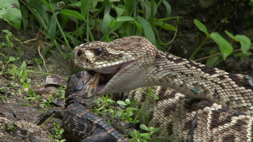 Eastern diamondback rattle snake eating hatchling alligator