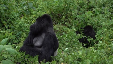 Mountain Gorilla, family life, silver back and baby in the Virunga mountains in Africa, Rwanda.