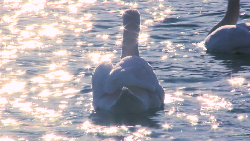 LAKE BLED, SLOVENIA-CIRCA 2011-Two white swans float on sparkling water in a lake.