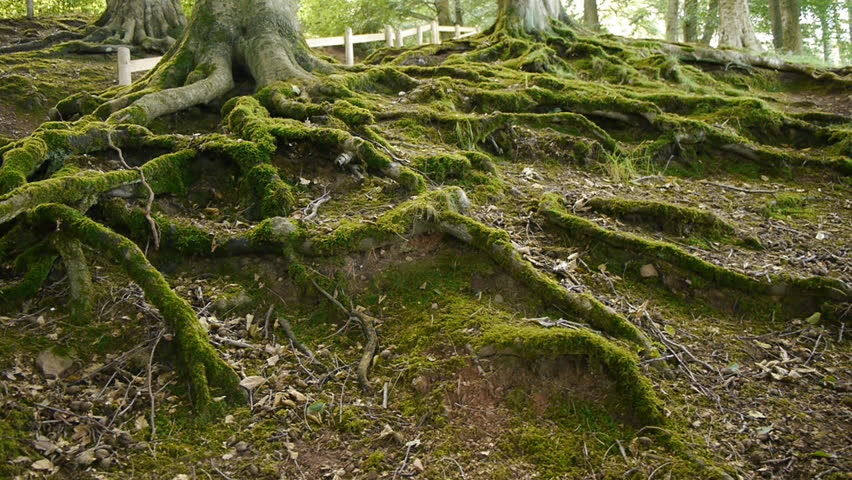 Moss covered tree roots. Camera move then hold.