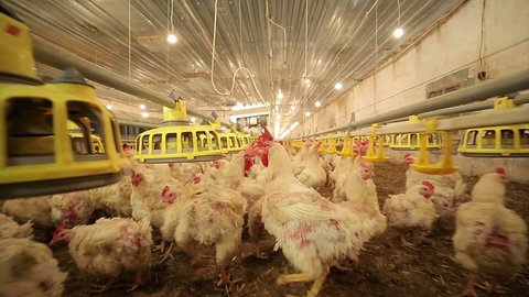 Chicken Farm. With camera motion. Agriculture.