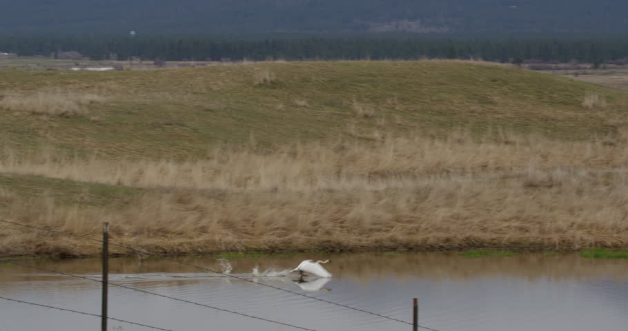 Swan takes off from prairie pond and flies over dirt road