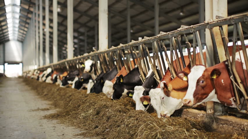 Dairy cows in the stable | Shutterstock HD Video #2687183