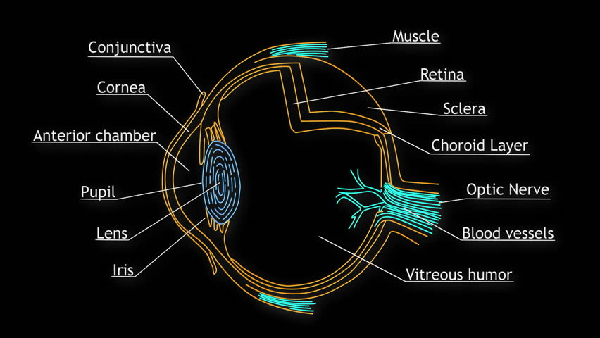 Human Eye Structure Animation Illustration Royalty Free Video