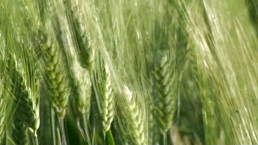 Green wheat ears close up at spring on field
