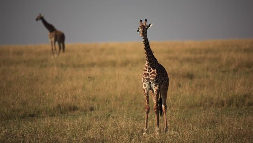 Baby masai giraffe