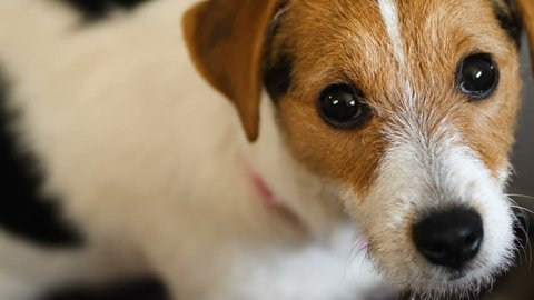 Jack Russell Terrier dog looking to camera Handheld shot 4K