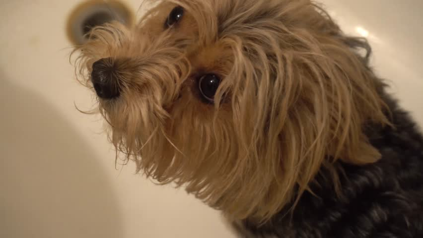 Cute young yorkie looking up into camera on white background. | Shutterstock HD Video #26995588