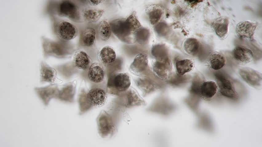 Vorticella Campanula. Protozoa by microscope. Benthic water life super macro close-up