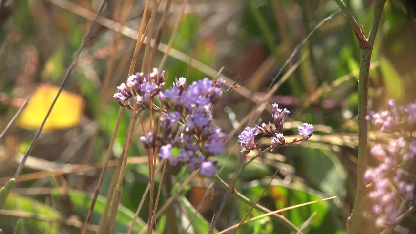 Flowers Limonium sea-lavender statice grow on shore of salt lake