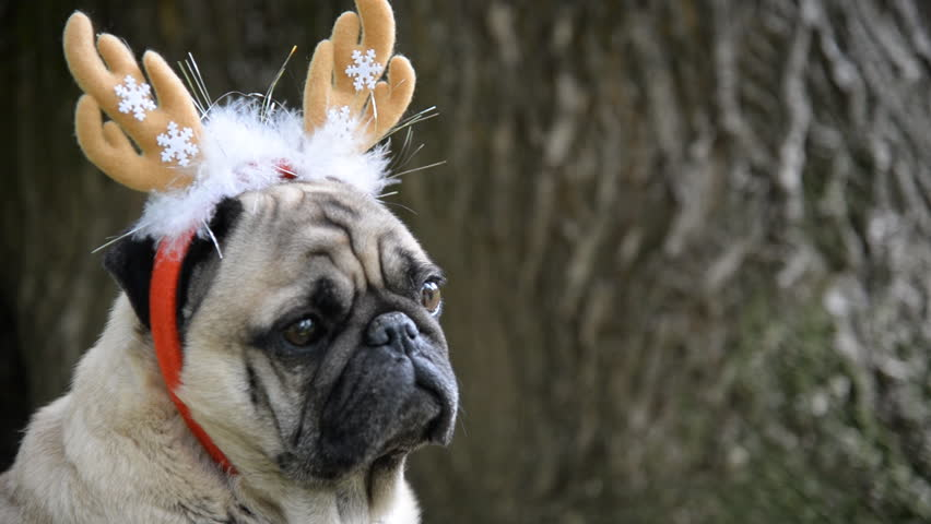 New Year. A dog of the pug breed in a new-year suit. | Shutterstock HD Video #27133393