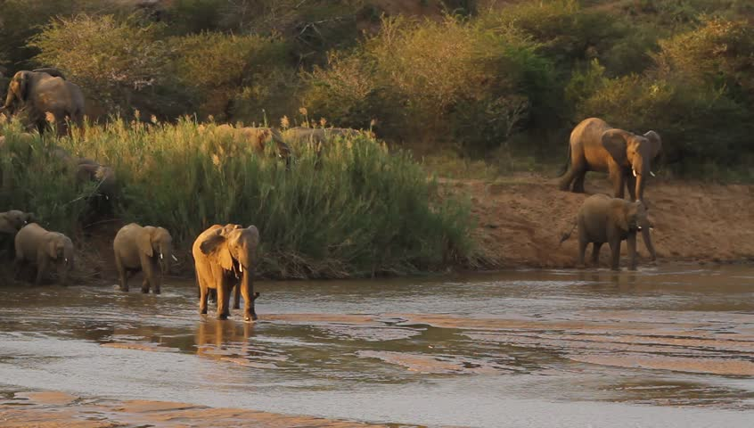 Large breeding herd of African elephants crossing the Imfolozi River at sunset.