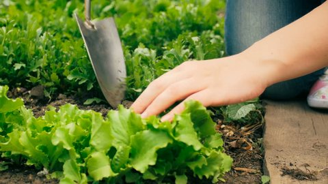 Closeup 4k video of young woman working in garden and taking care of fresh green lettuce