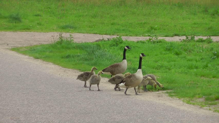 The family of Canadian geese crosses a road, clip is 5:15 second long.