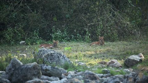Dhole is resting in the nature habitat,  rare animal, relax time ,Huai Kha Khaeng Wildlife Sanctuary, Thailand