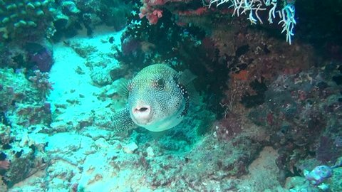 Blowfish puffer box on background of clear seabed underwater of Maldives. Swimming in world of colorful beautiful seascape. Aquarium of wild nature. Abyssal relax diving.