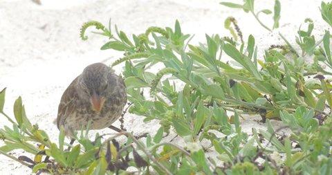 Darwin finch bird