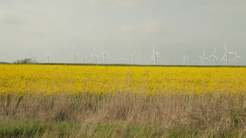 Wind turbines turn over a bright yellow field of rapeseed on the Romney Marsh.