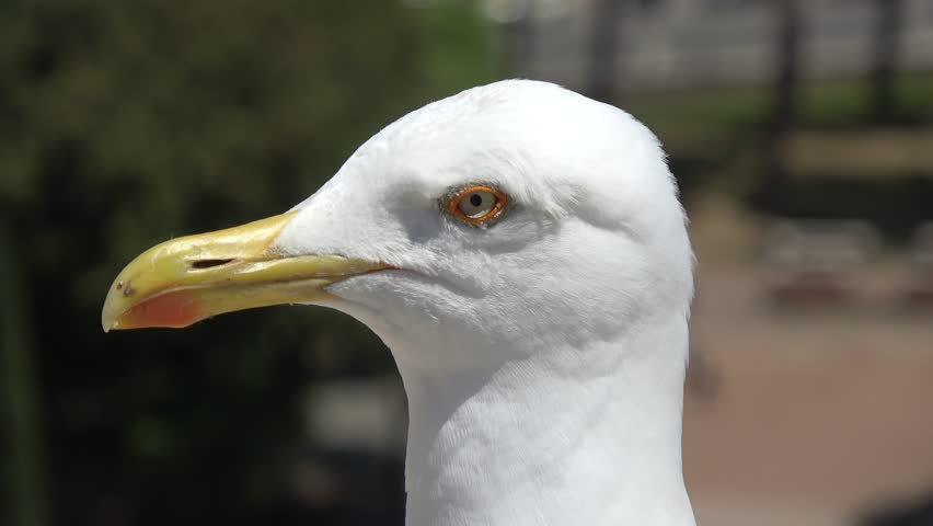 Close up of the white head of seagull looking around this typical seabird often is found near the sea but this one is located in the city center scavenging food from people living there 4k quality