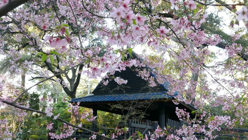 4K Video Of Beautiful Cherry Blossom At Japanese Garden Of