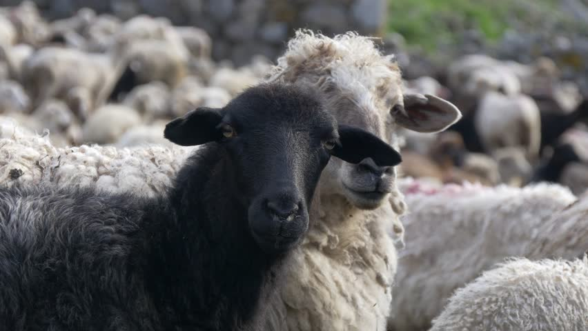 One black sheep between white in big flock