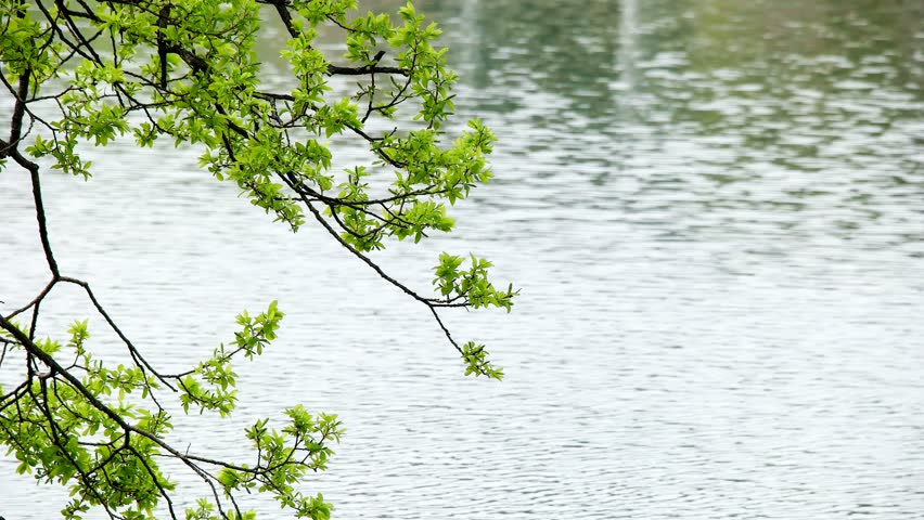 Spring, new leaves fresh from the swaying in the wind. | Shutterstock HD Video #27263503