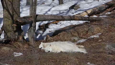 arctic wolves sleeping