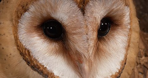 Barn Owl, tyto alba, Portrait of Adult Looking around, Normandy in France, Real Time 4K