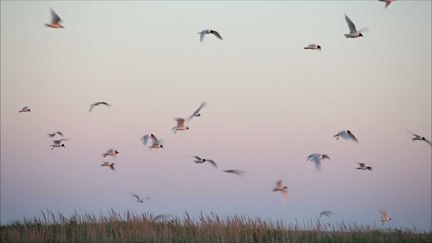 Large flock of birds in the evening 2 | Shutterstock HD Video #2736473