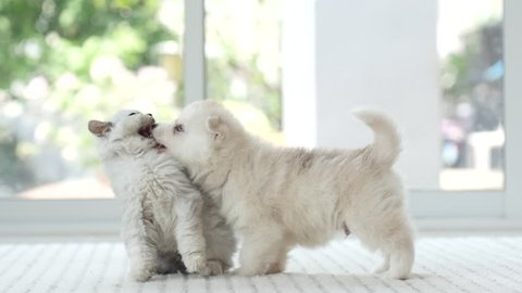 Cute kitten and puppy playing together,slow motion