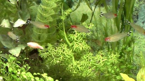 Red-tetra fish, rummy-nose tetra (Hemigrammus bleheri)  in aquarium