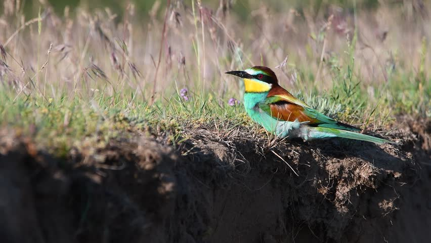 European bee-eater (Merops apiaster)   Shutterstock HD Video #27481003