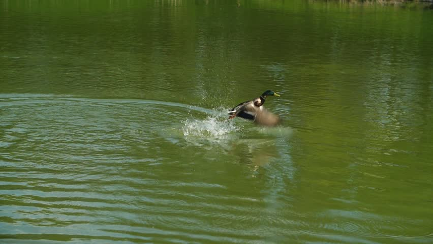 A duck takes off from the water and flies away in slow motion.