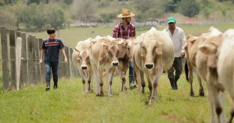 Everyday life for farmer with cows in South American countryside. Peasant work in Latin America with livestock in family country ranch. Manual job and people in small farm, man walking with cattle