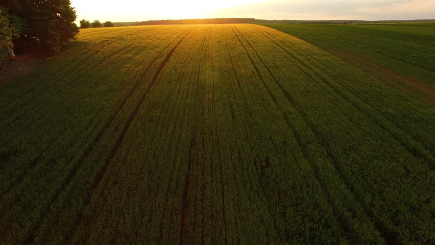 Aerial: camera tilt up and opens green wheat field covered in golden sunset light,