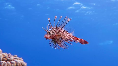 Red lionfish swimming. Scuba diving adventure underwater with tropical lion fish. Detail of fish in the blue ocean. Snorkeling with the lionfish - Pterois.